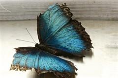 Senescent Owl Butterfly (Caligo) (deanspic) Tags: butterfly caligo owlbutterfly g3x blue wings nature ottawanaturemuseum