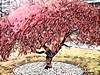PINK LEAVES STILL ON THE TREE (Visual Images1 (Thanks for over 4 million views)) Tags: vinci tree htmt pink leaves