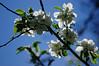 White and blue (gornabanja) Tags: apple blossom appleblossoms sky blue white backlit light contrast branch tree nature plant nikon d70