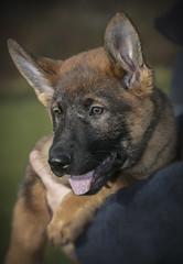 Bren Gets Ready for Action (Greater Manchester Police) Tags: policedog policepup germanshepherd germanshepherdpup houghend policedogunit dogsection k9unit k9