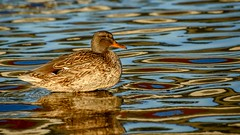 Gold water (Raquel Borrrero) Tags: gold golden duck lake nikon d3200 pato lago dorado reflection reflejos