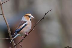 GAD_7618_28-01-18-1.jpg (jlgad05) Tags: grosbeccassenoyaux oiseau coccothraustescoccothraustes fringillidés hawfinch passériformes bird