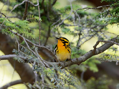 Blackburnian Warbler (av8s) Tags: blackburnianwarbler warbler birds perchingbirds songbirds nature wildlife nescopeckstatepark pennsylvania pa photography nikon d7100 sigma 120400mm