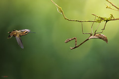 Hummingbird and the Mantis (Chris Jimenez Nature Photo) Tags: territory birding territorial chrisjimenez colibries envuelo colibrie mantis wildlife flight costarica photography rainforest green display birds action hummingbird