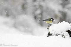 carbonero in the storm (1 de 1) (barragan1941) Tags: aves carbonero cremenes2018 fauna nieve pajaros