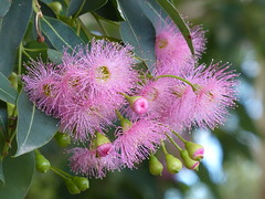 Gumtree Flowers (teressa92) Tags: flowers blossoms buds pink eucalyptus gumtree thegalaxy