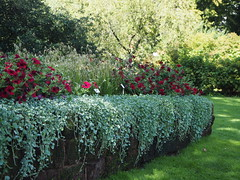 Dichondra argentea (tgrauros) Tags: konungariketsverige lund sverige sweden dichondraargentea silvernjurvinda botaniskaträdgårdenlundsuniversitet suècia silverfalls botaniskaträdgården silverponysfoot