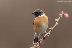 Saltimpalo (Simone Mazzoccoli) Tags: wildlife wild bird birdphoto photo stonechat light outdoor birds nature animal