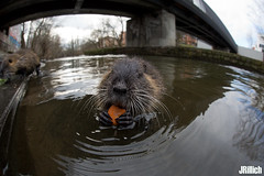 coypu, Nutria @ Leipzig, 2018 (Jan Rillich) Tags: jan rillich janrillich picture photo photography foto fotografie eos digital wildlife animal nature beautiful beauty sunny sun fauna flora free animalphotography leipzig winter snow cold germany canon canon5d 5dmarkiii 2018 urban urbannature nutria sigmafisheyedg15mmf28 sigma15mmf28exdgdiagonalfisheye wideangle weitwinkel funny fisheye fischauge coypu rodent myocastoridae echimyidae myocastorcoypus fluss river elster biberratte sumpfbiber wasserratte