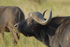 relaxed Buffalo Bull (cirdantravels (Fons Buts)) Tags: bovid bovidae synceruscaffer capebuffalo africanbuffalo buffalo kafferbuffel buffel buffle büffel bovinae