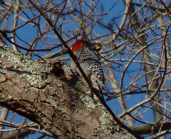 Red-bellied Woodpecker with an acorn (Dendroica cerulea) Tags: redbelliedwoodpecker melanerpescarolinus melanerpes melanerpini picinae picidae picides pici piciformes neoaves neognathae neornithes aves bird birds woodpecker winter manasquanreservoir howelltownship monmouthcounty nj newjersey