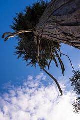 Treecreature-8396 (toniertl) Tags: toniphotoxoncouk tree creature abstract art bizarre claw reaching tentacle sky vertical upwards trunk pine