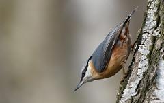 Nuthatch (Sitta europaea). (festoon1) Tags: bird nuthatch nottinghamshire sittaeuropaea
