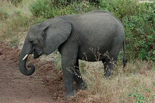 Pequeño elefante - Tanzania