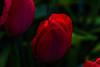 Flowers-Tulips-13.jpg (Chris Finch Photography) Tags: tulipasaxatilis spring tulip pinktulip flower tepals tulipalinifolia springblooming chrisfinchphotography perennial redtulip petal herbaceousbulbiferous petals tulipa pinktulips flowers tulipaturkestanica perennials herbaceous bloom bulb tulipagesneriana bulbs tulipaarmena lilioideae chrisfinch herbaceousbulbiferousgeophytes macrophotography tulipaclusiana blooming tulipahumilis redtulips wwwchrisfinchphotographycom tulips