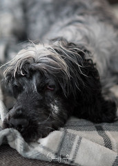 2018 - 01_06 - Portrait - Animal - Gertie 03.jpg (stevenlazar) Tags: 2018 grey gertie dog australia animals largs adelaide southaustralia cockerspaniel