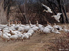 ... (Jean S..) Tags: birds geese nature flight landing woods trees spring