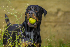 Athena (davidefragale) Tags: dog puppy rottweiler