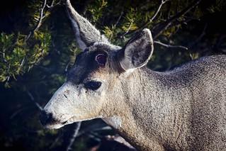 Antler Shed:  Mule Deer Buck -