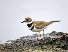 """Graceful Plover"" (Gary Helm) Tags: plover killdeer bird birds animal nature wildlife outside outdoor fly flight wings feathers ghelm4747 garyhelm canon camera image powershot sx60hs floridawildlife joeoverstreetroad osceolacounty florida lakemarian gracefulplover tawny water road pasture field shorebird sky rock sand mud beach sea"