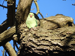London greeney (P'ptje) Tags: parakeet bird birds richmondpark london animal animals wildlife urbanwildlife urbannature nature green greatbritain greatbrittain vogel