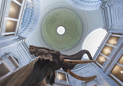 Museum of Natural History (Duluoz Me) Tags: elephant museum natural history smithsonian fisheye architecture rotunda look up perspective distortion aperture bokeh light shadow chiaroscuro nature wildlife photo photograph photographer canon 14mm fstop wide wideangle angle pov