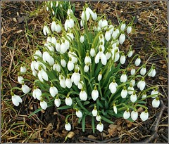 'Galanthus' (** Janets Photos **) Tags: uk plants flora flowers snowdrops galanthus nature green white