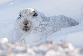 Mountain Hare - Cairngorms