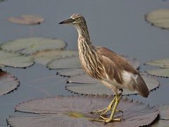 Indian Pond Heron (SivamDesign) Tags: canon eos 550d rebel t2i kiss x4 300mm tele canonef300mmf4lisusm kenko pro300 caf 14x teleplus dgx bird fauna indian pond heron indianpondheron ardeolagrayii chirakkalchira