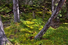 A Grassy Meadow in the Woods of the Rockies (Banff National Park) (thor_mark ) Tags: nikond800e day4 triptoalbertaandbritishcolumbia icefieldsparkway banffnationalpark verdantgreenforest verdantforest aroundmistayacanyon lookingeast capturenx2edited colorefexpro outside nature landscape rockymountains canadianrockies trees evergreens grassymeadow travelingicefieldsparkway travelingtheicefieldsparkway walkingbackfrommistayacanyon grassyarea grassyfields lichen project365 portfolio alberta canada