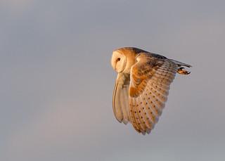 DSC0911  Barn Owl...