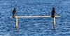 0T4A0544 (2) (Alinbidford) Tags: alancurtis alinbidford brandonmarsh wildbirds cormorant