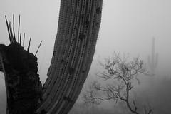 Tum021_small (patcaribou) Tags: tucson tumamochill sonorandesert fog cactii saguarocactus