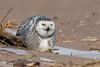 Snowy Owls of New York   2018 - 05 (RGL_Photography) Tags: beachowl birding birds birdsofprey birdwatching buboscandiacus mothernature ny nature newyork nikonafs600mmf4gedvr nikond500 ornithology owls raptors snowyowl us unitedstates wildlife wildlifephotography