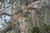 Silent Approach (PeterBrannon) Tags: bird birdphotography florida lakeland nature shadows strixvaria wildlife wings barredowl owl