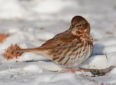 Fox Sparrow (JDA-Wildlife) Tags: birds nikon nikond7100 tamronsp150600mmf563divc jdawildlife johnny portrait closeup eyecontact sparrows sparrowfox foxsparrow whatbirdbestofday wow incredible