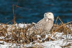 Snowy Owl (mattbpics) Tags: owl 70d canon tamron 150600 150600mm snowyowl longbeach stratford stewartbmckinney nwr connecticut