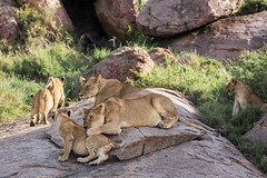 Keep still! (Ring a Ding Ding) Tags: africa ascilia bigcat lion namiriplains pantheraleo prideoflions tanzania cat cubs motherandcub nature safari siblings wildcat wildlife flickrbig cats