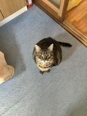 """I'm not old! I'm well fermented..."" (sjrankin) Tags: 20february2018 edited yubari hokkaido japan kitchen floor animal cat tigger"