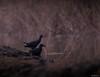 Pollas de agua (guturu) Tags: albufera avesacuaticas pollasdeagua