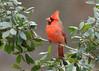 Cardinal 1  1-13-18 (Cal-Photo) Tags: wildlife nature tennessee middletennessee birds backyardbirds cardinal