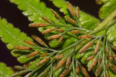 IMG_1310  spores (vlee1009) Tags: 2018 canon february nantou taiwan nature fern spores
