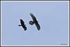 Aigle Gypaète 180115-02-P (paul.vetter) Tags: oiseau ornithologie ornithology faune animal bird gypaètebarbu gypaetusbarbatus bartgeier quebrantahuesos beardedvulture vautour rapace