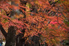autumnal tints (canon-Tom) Tags: maple autumn red leaves tree landscape nature