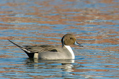 Northern pintail drake duck. (Mel Diotte) Tags: northern pintail duck wild explore