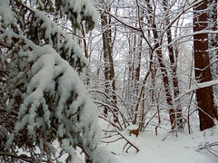 January - Snowy Day 3 (Stan's Gallery) Tags: winter snow snowscape snowstorm white trees woods forest evergreen branches