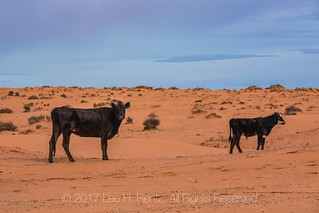 Cows Graze on the Sand Dunes along Road to Horseshoe Canyon