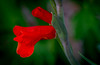blooms of deep red (Pejasar) Tags: flower blossom bloom garden red deep color tulsa oklahoma