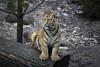 Tiger (DeanB Photography) Tags: zoo hagenbeck raubtiere tiere tier tierpark tierwelt tiger löwe walross chamäleons sony animal animals a6000 a7ii
