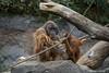 Orang-Utan (DeanB Photography) Tags: zoo hagenbeck raubtiere tiere tier tierpark tierwelt tiger löwe walross chamäleons sony animal animals a6000 a7ii